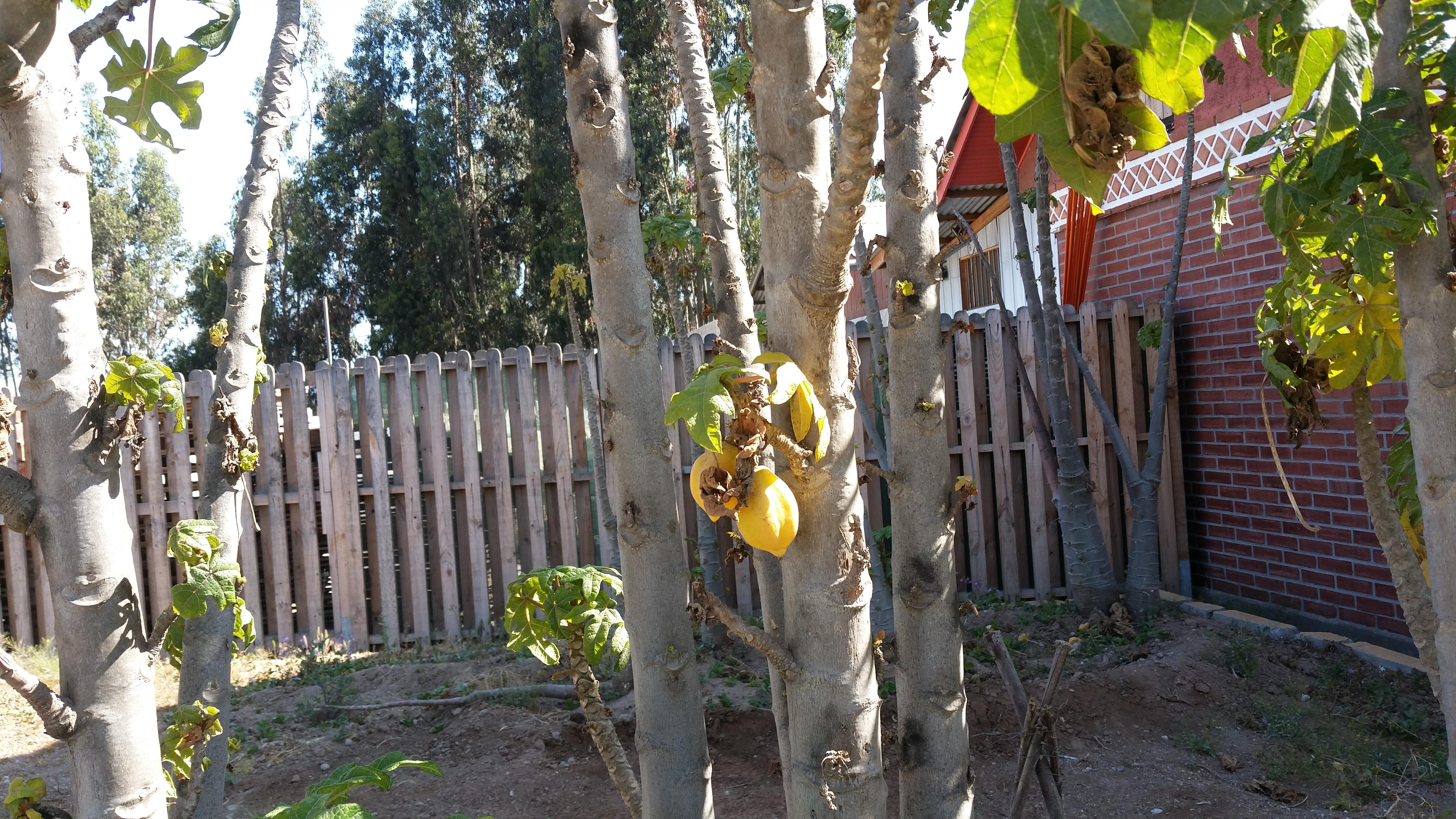 Papayasträucher